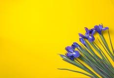 背景构成旋花植物空白花的郁金香 顶视图 库存图片