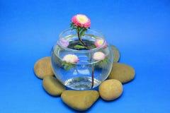 背景构成旋花植物空白花的郁金香 库存图片