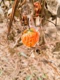 背景果子coccinia grandis,常春藤金瓜 免版税库存照片