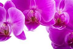 背景查出的兰花白色 丰富开花洋红色兰花植物兰花 背景蜡烛开花温泉毛巾黄色 库存图片