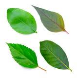 背景查出的叶子叶子设置了结构树空白 免版税库存图片