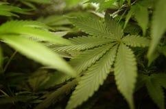 背景查出的叶子大麻白色 库存照片