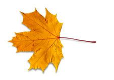 背景查出的叶子槭树白色 图库摄影