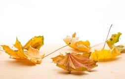 背景查出的叶子槭树白色 库存照片