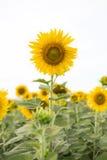 背景查出的向日葵白色 库存照片