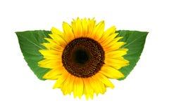 背景查出的向日葵空白黄色 库存照片