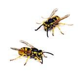 背景查出的活黄蜂白色 免版税图库摄影