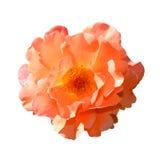 背景查出的玫瑰白色 充分地打开在白色背景隔绝的柔和的桃红色玫瑰头状花序 库存照片