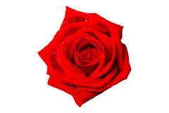 背景查出的玫瑰白色 免版税库存图片