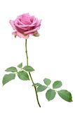 背景查出的粉红色玫瑰白色 库存照片