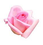 背景查出的粉红色玫瑰白色 免版税库存图片