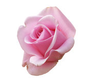背景查出的粉红色玫瑰白色 免版税库存照片