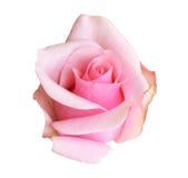 背景查出的粉红色玫瑰白色 免版税图库摄影