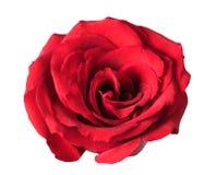 背景查出的红色玫瑰白色 图库摄影