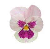 背景查出的蝴蝶花白色 免版税库存图片