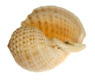 背景查出的贝壳白色 图库摄影