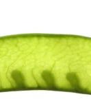 背景查出雪白的豌豆 库存图片