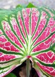 背景样式Abstact桃红色被构造的花叶万年青叶子 库存图片