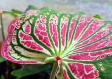 背景样式Abstact桃红色被构造的花叶万年青叶子 库存照片
