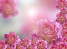 背景桃红色玫瑰 免版税库存图片