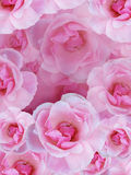 背景桃红色玫瑰 免版税图库摄影