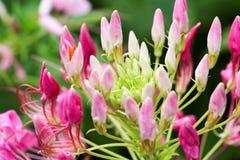 背景桃红色花和太阳光84 库存图片
