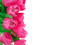 背景桃红色郁金香白色 库存图片