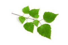 背景桦树枝杈白色 免版税图库摄影