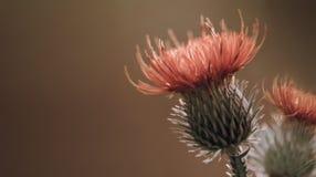 背景棕色花卉 红色棘手的蓟花 在紫罗兰色背景的一朵红色花 特写镜头 库存图片