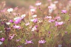背景横幅开花表单少许桃红色螺旋 在阳光下的雏菊 库存图片