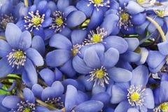 背景欧洲第一朵花实际春天 免版税库存照片