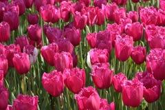 背景水平的桃红色郁金香 免版税库存图片