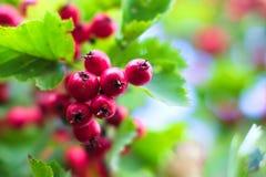 背景浆果五颜六色的山楂树红色 免版税库存照片