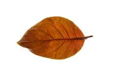 背景海湾查出的叶子白色 免版税图库摄影