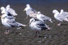 背景海滩夫妇递拿着海鸥走 库存图片