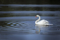 背景湖航行天鹅白色 库存照片