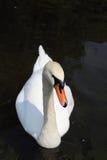 背景湖航行天鹅白色 免版税库存照片