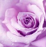 背景湿紫色的玫瑰 免版税库存照片