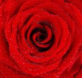背景湿红色的玫瑰 免版税图库摄影
