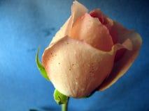 背景湿蓝色的玫瑰 免版税库存照片