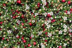 背景灌木枸子属植物结果实红色绿色的叶子 库存图片
