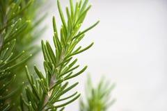 背景灰色迷迭香小树枝 免版税库存照片