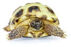 背景照片乌龟白色 免版税库存照片