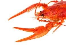 背景煮沸的小龙虾白色 库存图片
