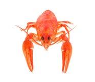 背景煮沸的小龙虾白色 免版税库存照片