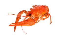 背景煮沸的小龙虾白色 免版税图库摄影