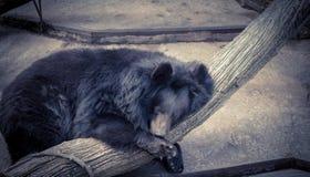 背景熊休眠白色 免版税图库摄影