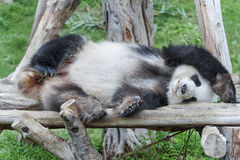 背景熊动画片例证熊猫样式白色 图库摄影