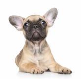 背景牛头犬法国小狗白色 免版税库存照片