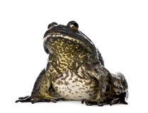 背景牛蛙前面白色 库存照片